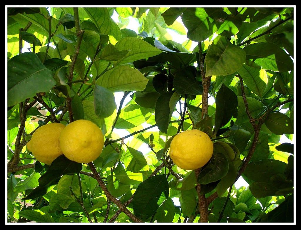 Árbol de limonero con frutos