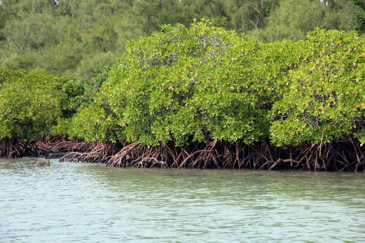 El manglar es un árbol acuático