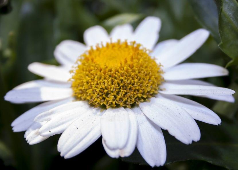 Margarita blanca, una herbácea común pero muy bonita