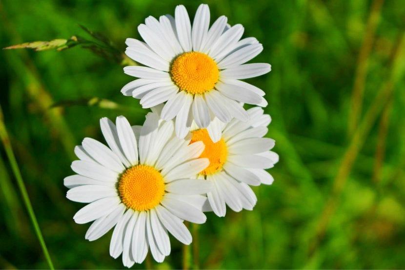 Grupo de margaritas en flor