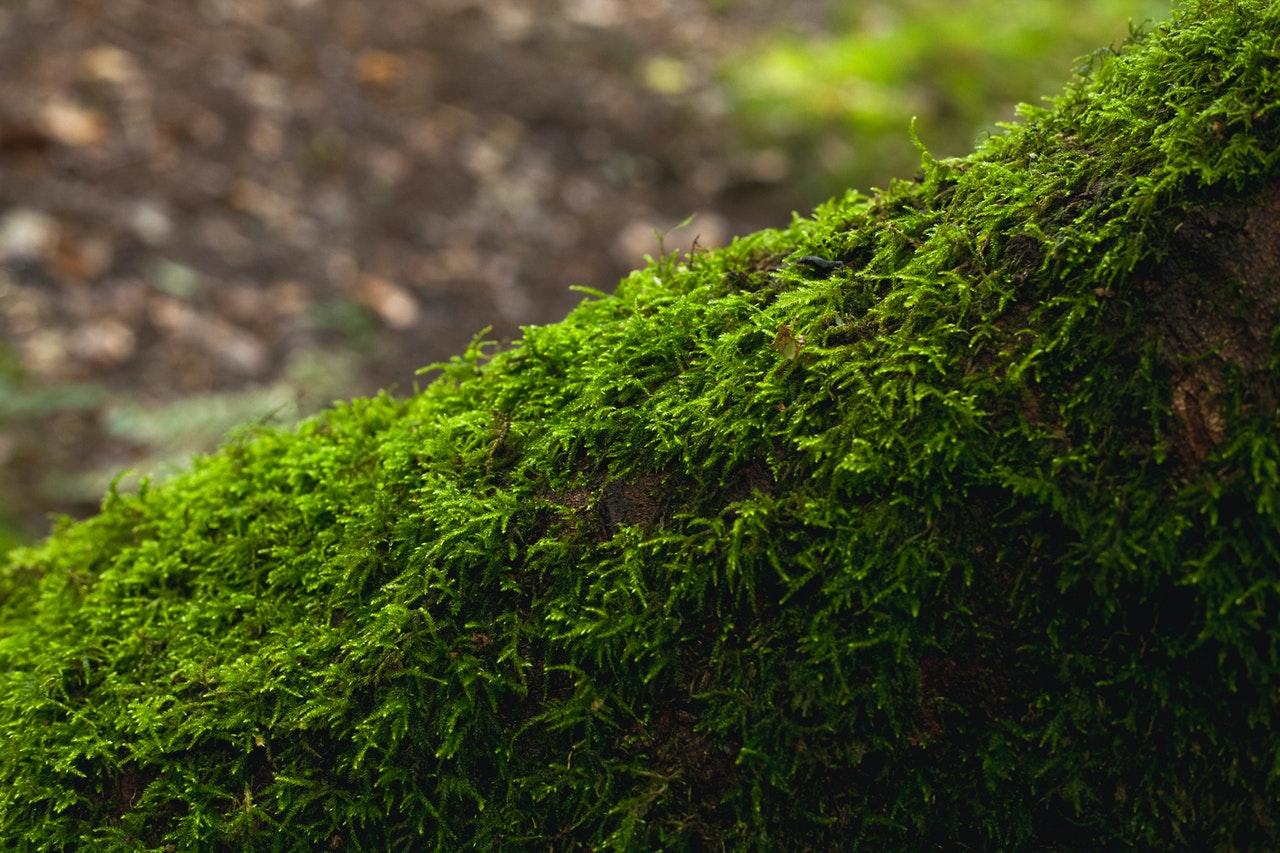 El musgo es una planta no vascular