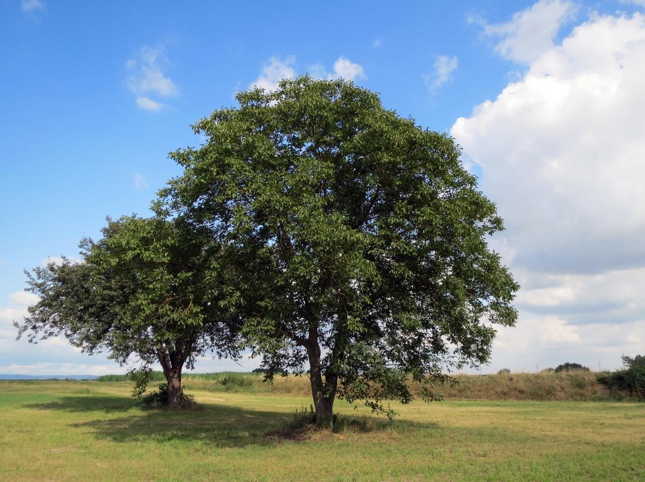 Vista del nogal, el árbol de las nueces