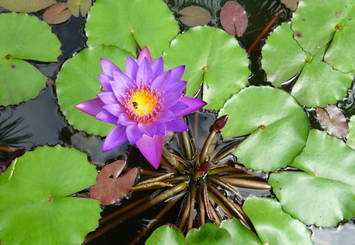La Nymphaea es una planta acuática ideal para estanques