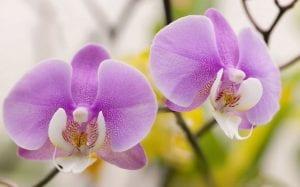 cultivar una orquídea Phalaenopsis