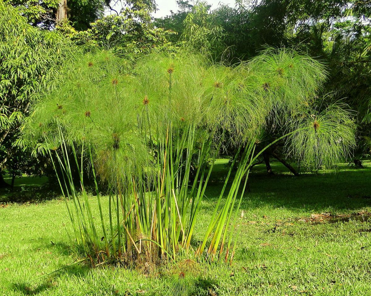 El papiro es una acuática emergente