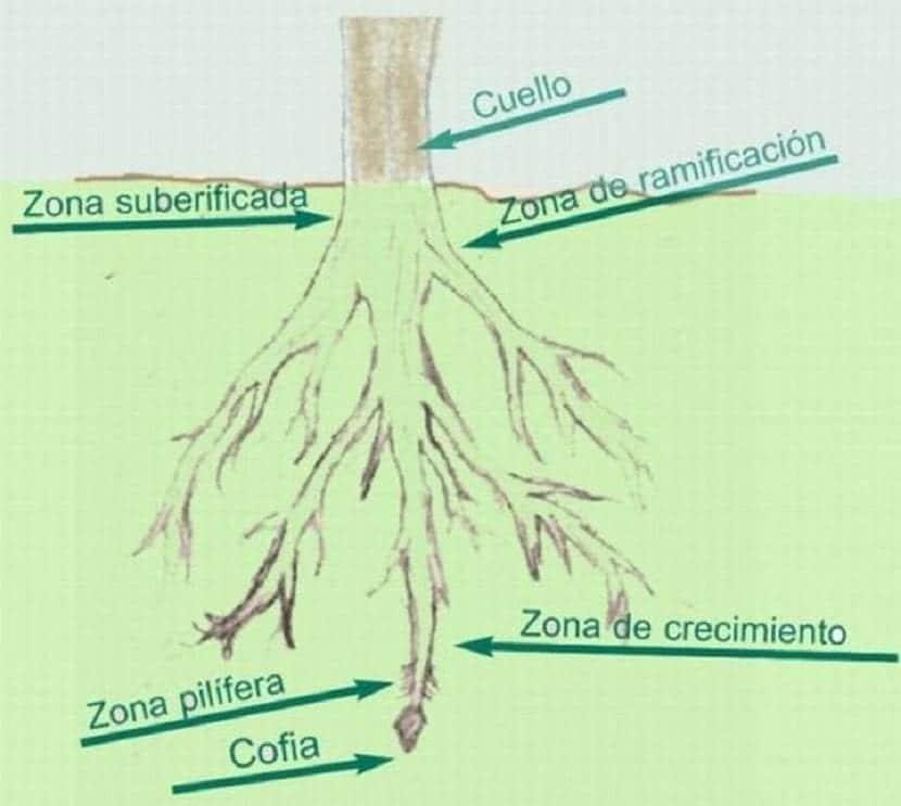partes de una raiz
