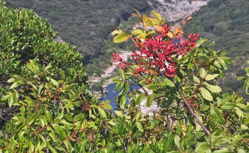 Pistacia terebinthus en hábitat