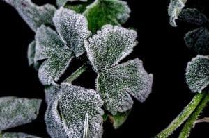Planta congelada