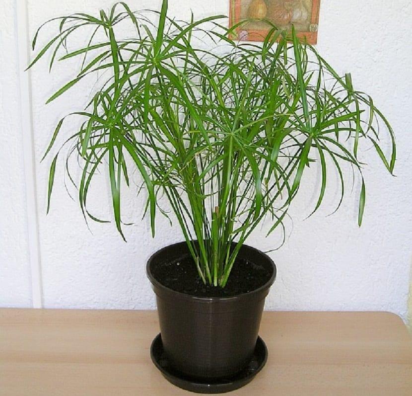 planta de cyperus de interior