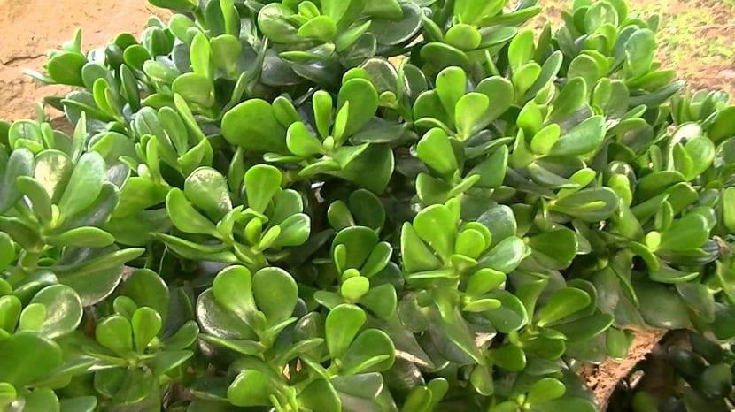 cultivar la planta de Jade