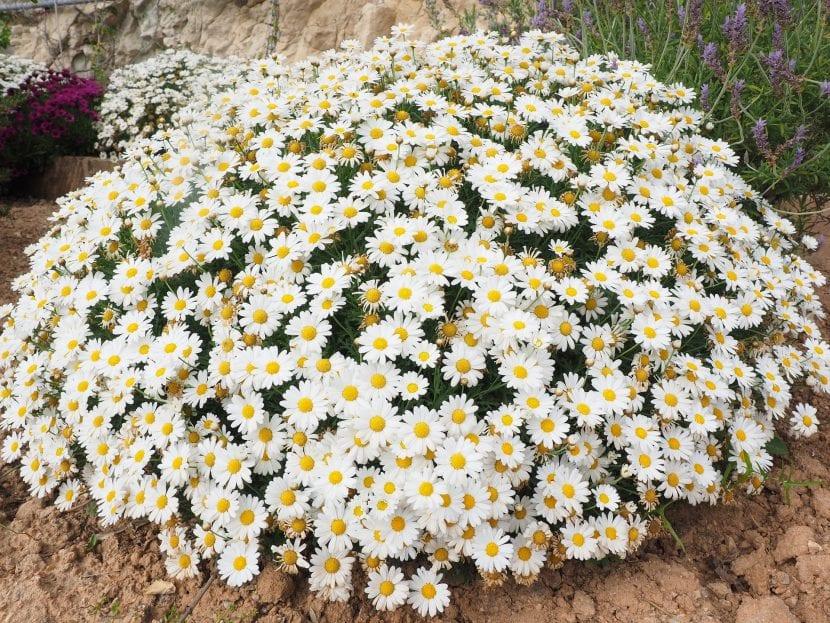 Planta de margaritas