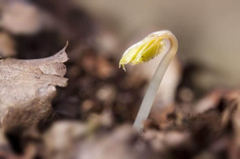Plantín recién germinado