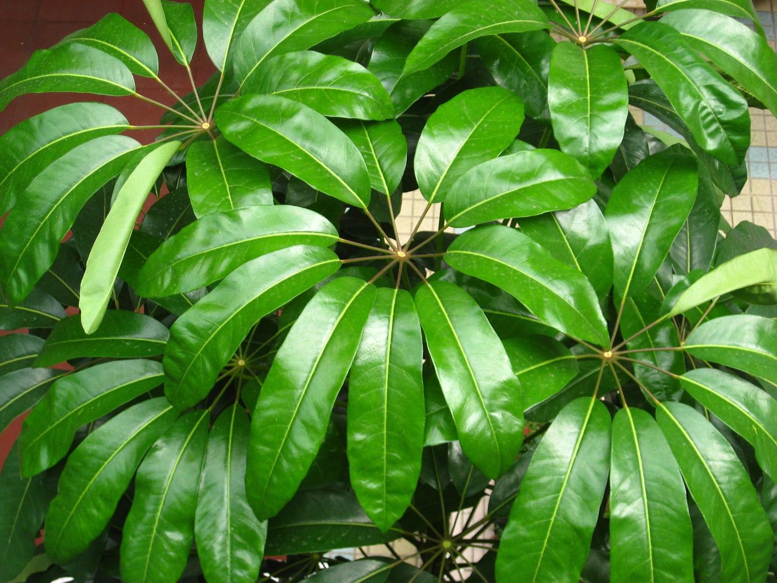 Vista de la Schefflera actinophylla