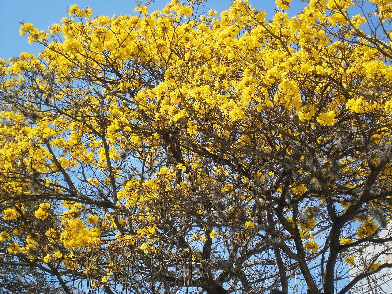 Vista del árbol tropical Tabebuia chrysantha