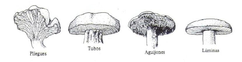 Los tipos de himenio nos indican si una seta es venenosa o no