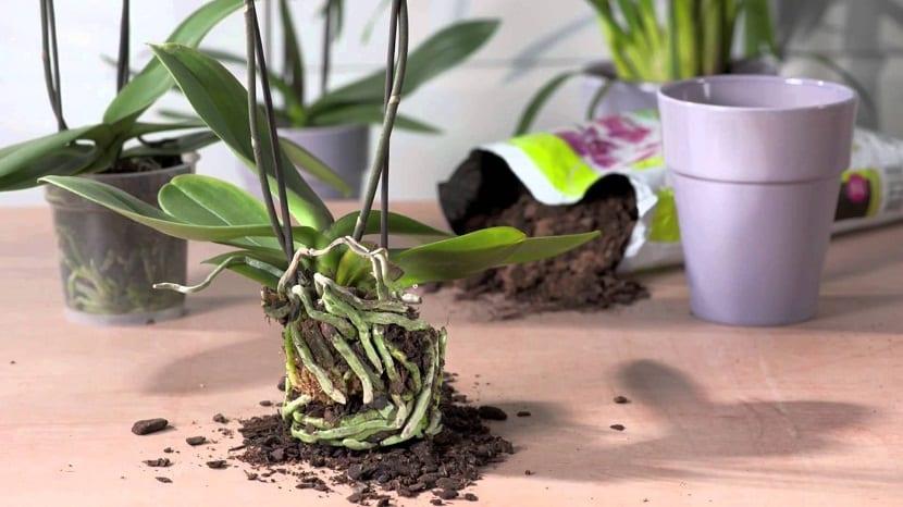Cuidado y cultivo de las orquídeas Phalaenopsis