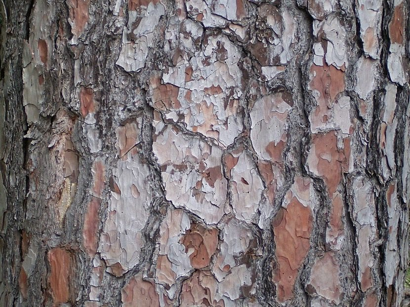 Tronco del pino canario