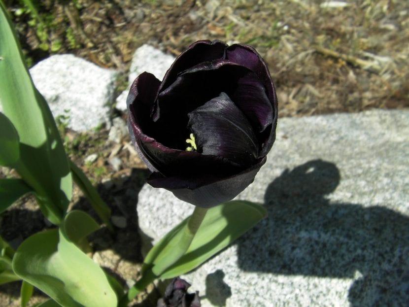 Tulipán negro en flor