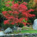 Acer japonicum 'Aconitifolium' en jardín