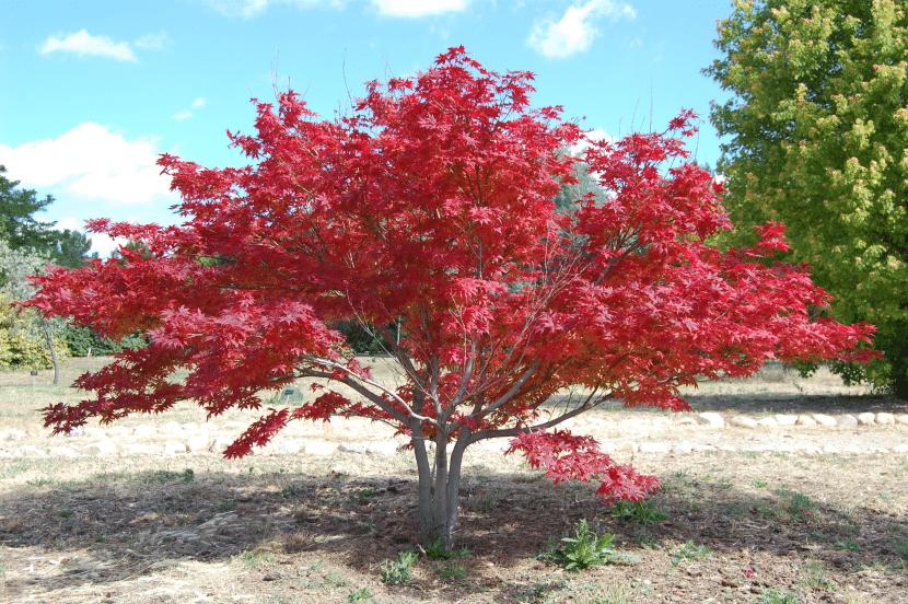 Árbol de Acer palmatum 'Ornatum'