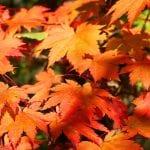 Hojas de Acer japonicum 'Vitifolium'