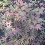 Hojas de Acer palmatum 'Bloodgood'
