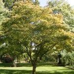 Ejemplar de Acer palmatum 'Osakazuki'