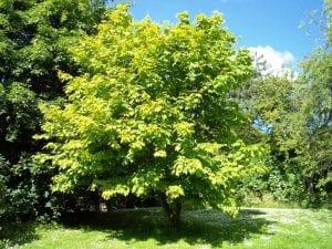 Árbol de Acer pensylvanicum