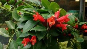 Planta de Aeschynanthus radicans en flor