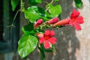 planta trepadora