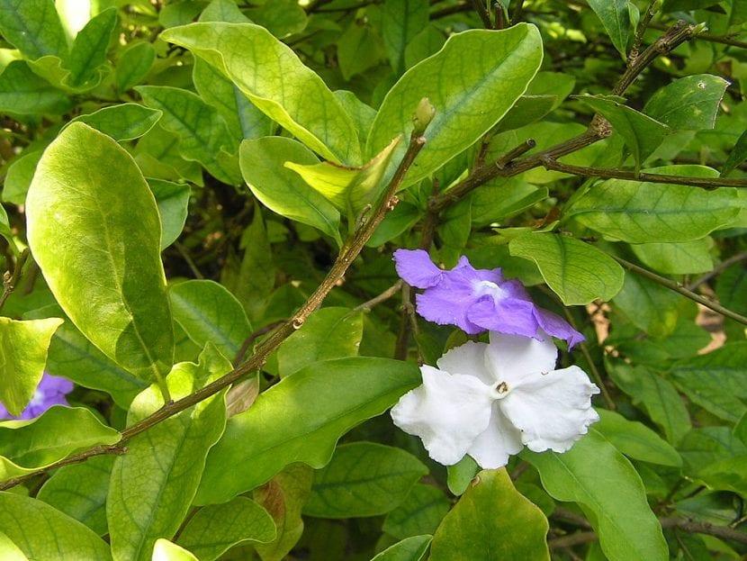 Brunfelsia hopeana en flor