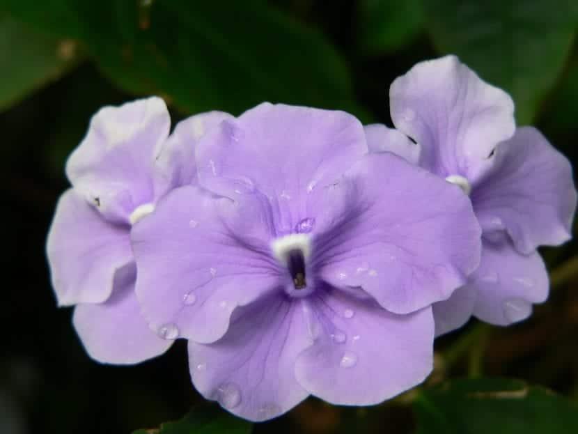 Flores de Brunfelsia panciflora
