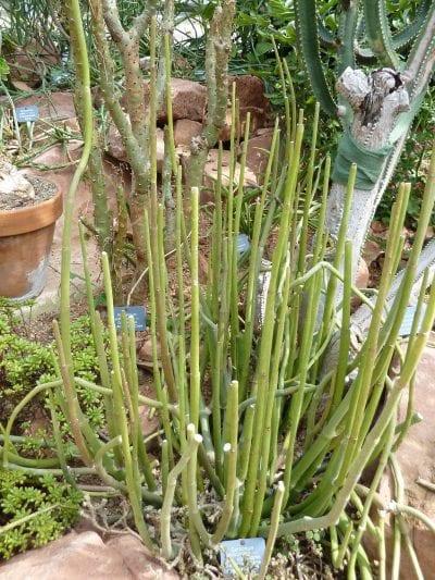 Planta de Ceropegia dichotoma