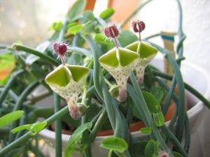 Flores de la Ceropegia haygarthii