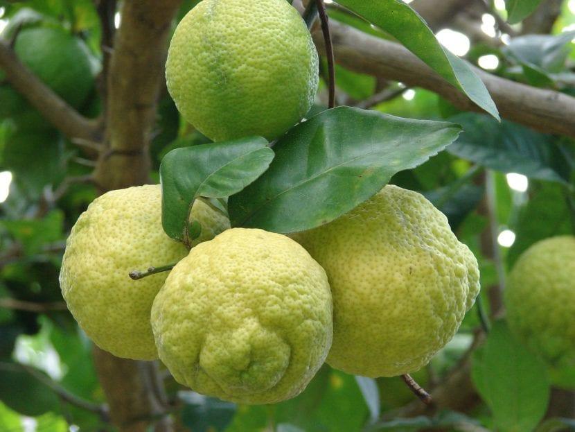 Citrus limon, árbol de limonero