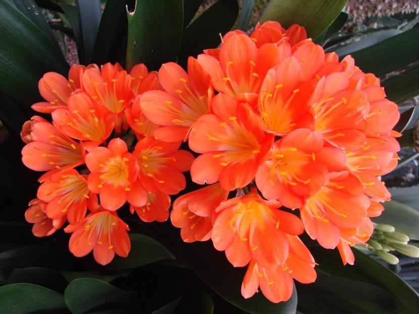 Clivia miniata en flor