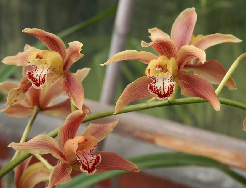 Orquídea Cymbidium iridioides