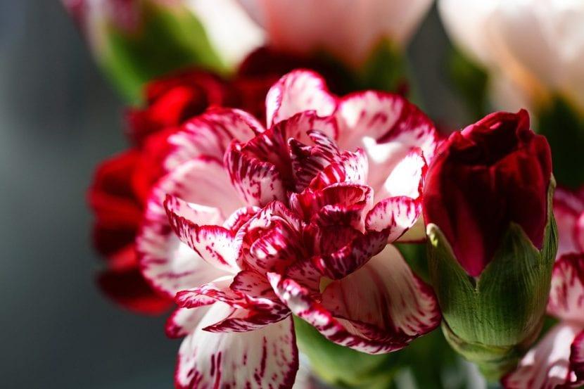 Dianthus caryophyllus en flor