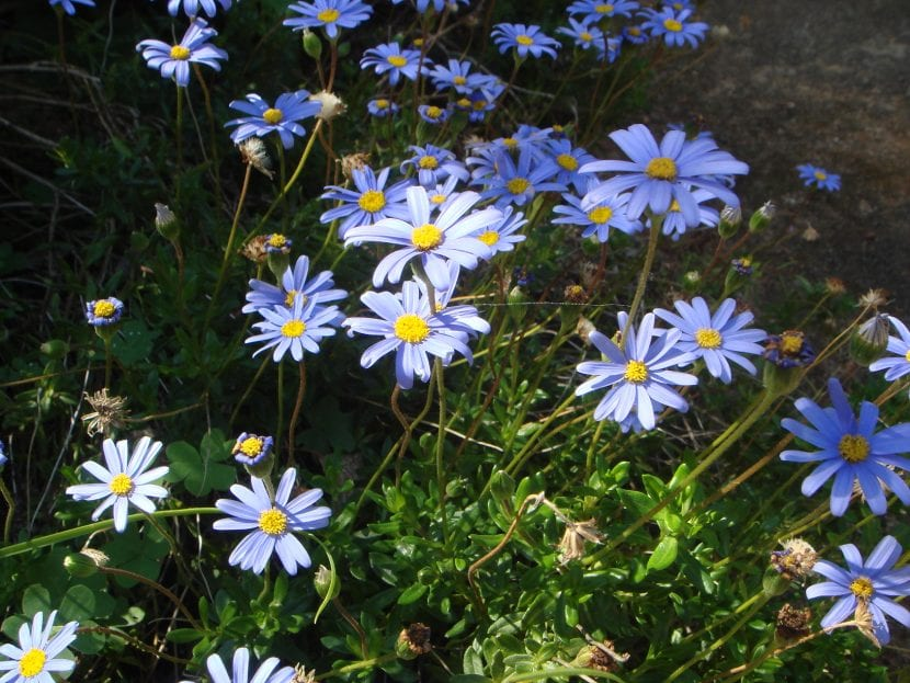 Felicia amelloides en floración
