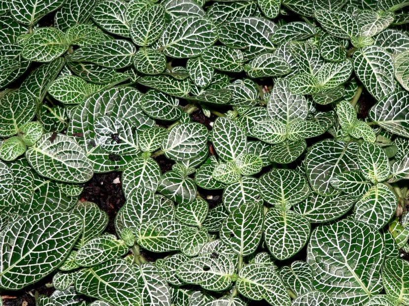 Planta Fittonia albivenis