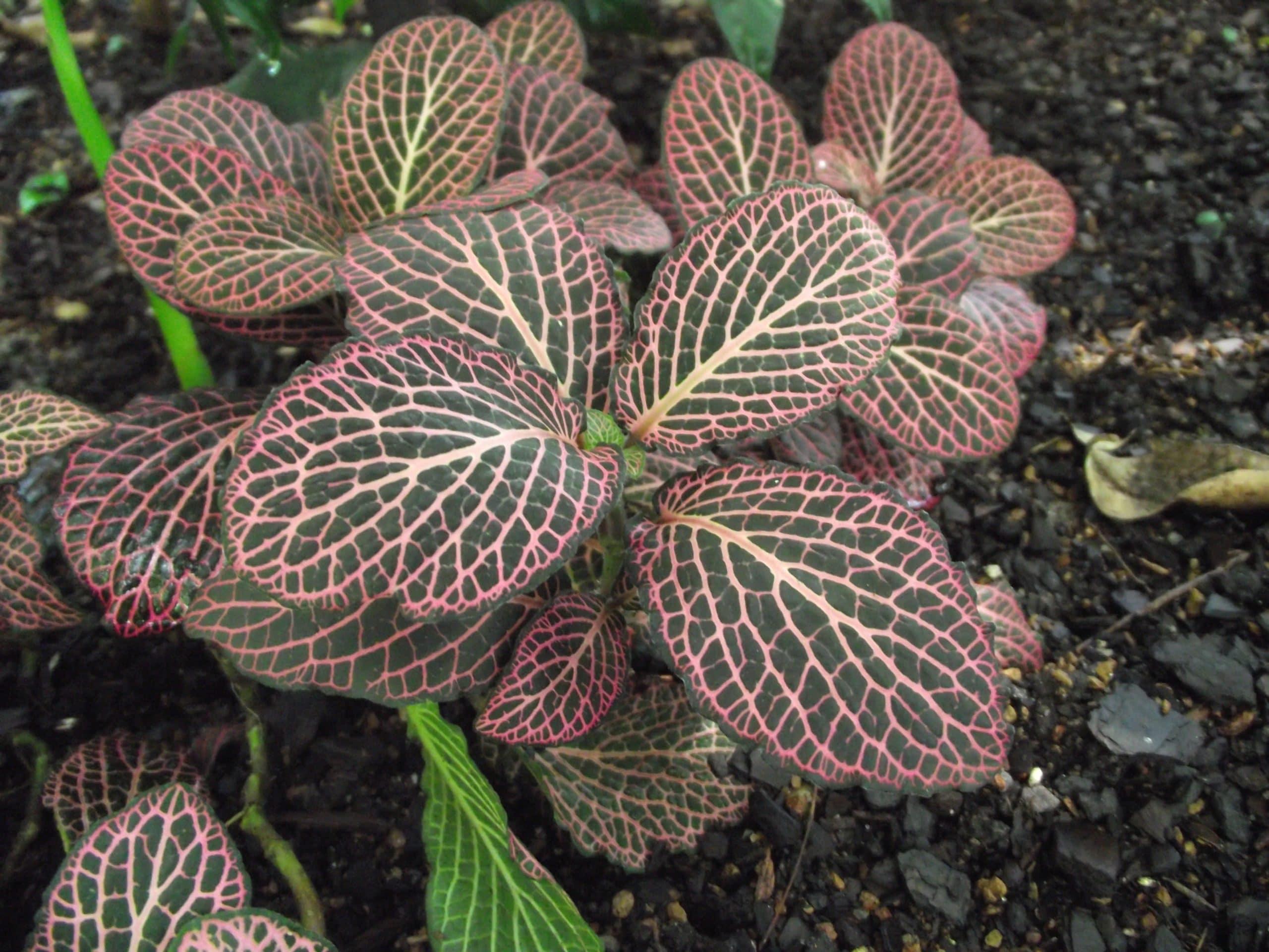 Planta Fitttonia verschaffeltii