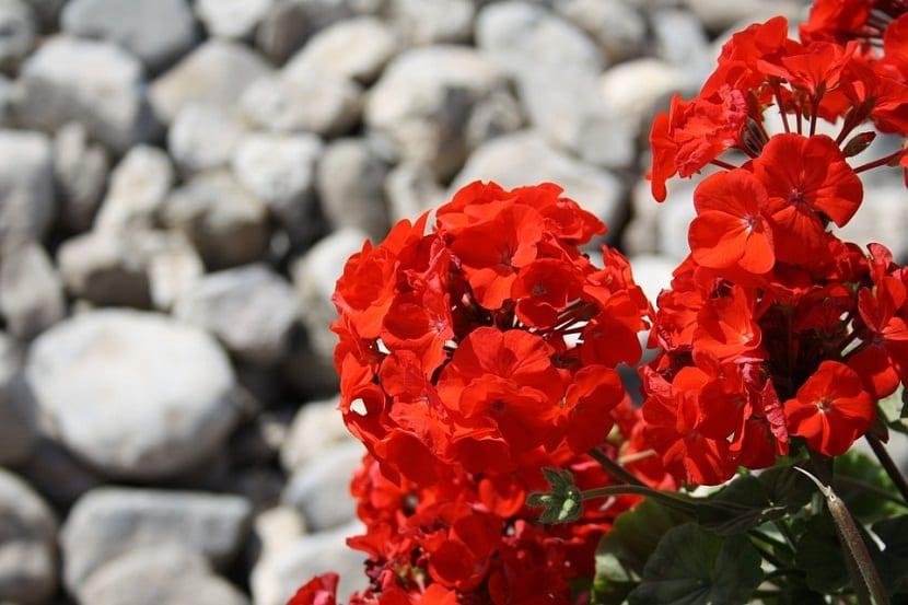 geranio como planta medicinal