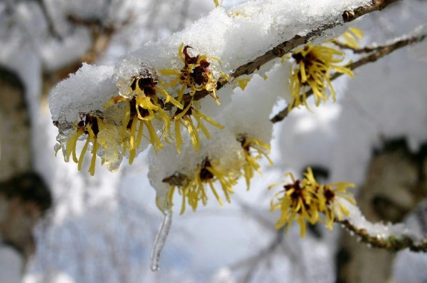 Flores de Hamamelis cubiertas de nieve
