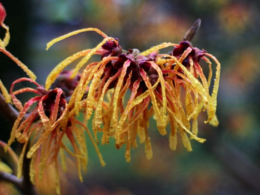 Flores de Hamamelis intermedia
