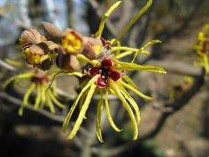 Hamamelis japonica en flor