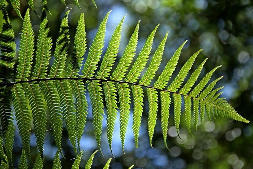 helecho como planta medicinal