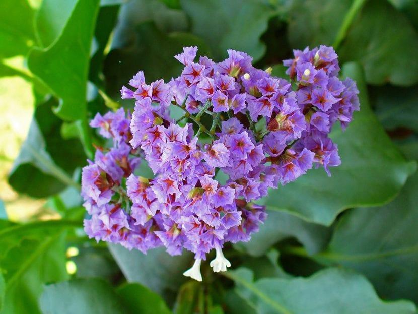 Flores de Limonium arborescens
