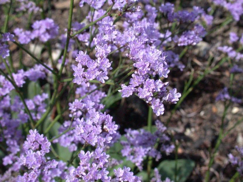 Flores de Limonium humile
