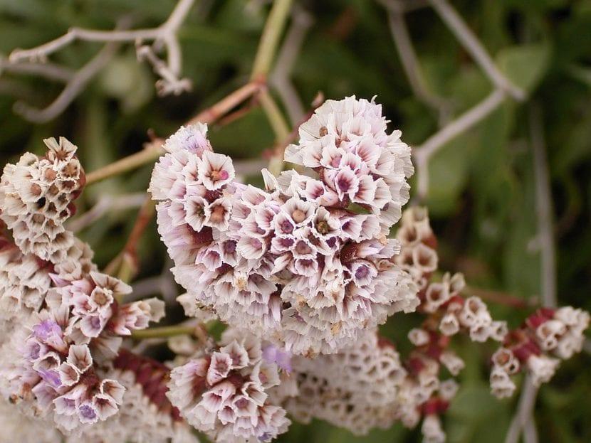 Planta de Limonium pectinatum