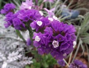 Flores de Limonium sinuatum